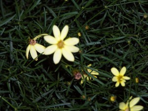 HuffyHow: Coreopsis, the hardiest perennial I know
