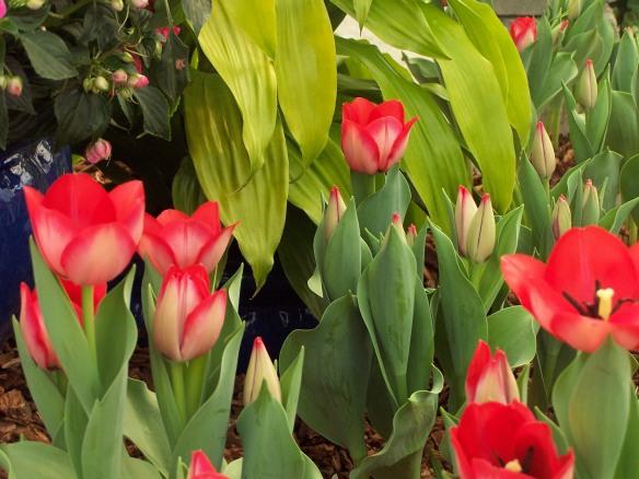 tulips, https://huffygirl.wordpress.com, © Huffygirl 2012
