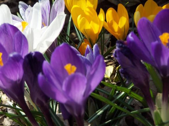 Spring crocus, © Huffygirl