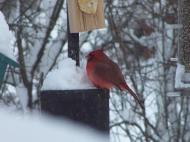 Fat cardinal, sitting pretty, https://huffygirl.wordpress.com, © Huffygirl 2012