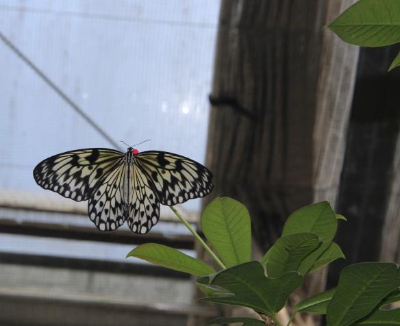 butterfly 1, https://huffygirl.wordpress.com, © Huffygirl 2013