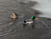 A pair of ducks, a pair of ducks, a most ingenious pair of ducks.