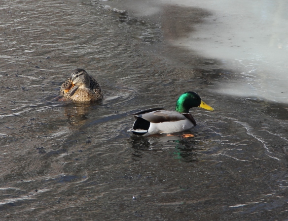 A pair of ducks, a pair of ducks, a most ingenious pair of ducks.