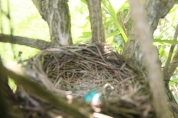 The first of three Robin eggs. Mother Robin didn't give me time to get a really good photo.