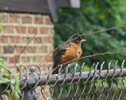 Angry bird, ruffled feathers. Mother Robin letting me know that I better not try to get any closer to her nest.