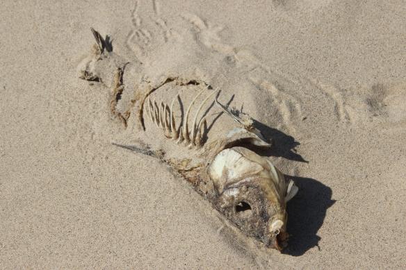 Fish skeleton, IMG_3292, https://huffygirl.wordpress.com, © Huffygirl 2013