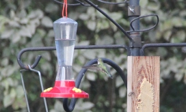 After buying and giving away three hummingbird feeders, the fourth one was the charm. Caught this ruby-throat during fall migration.