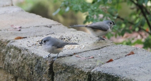 Tempted with a little bird seed, these titmice twins struck a mirror image pose for me.