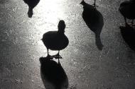 Shadow ducks on ice.